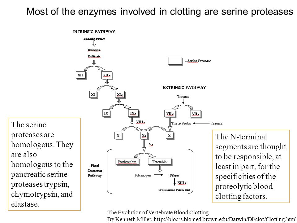Most of the enzymes involved in clotting are serine proteases The Evolution of Vertebrate Blood Clotting By Kenneth Miller, http://biocrs.biomed.brown