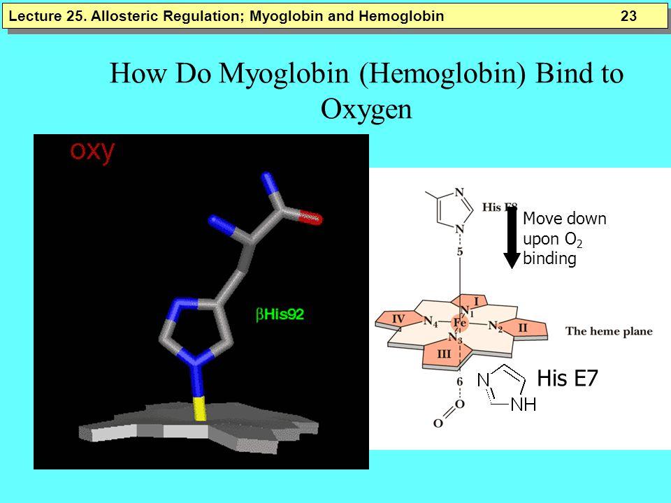 How Do Myoglobin (Hemoglobin) Bind to Oxygen His E7 Move down upon O 2 binding Lecture 25.