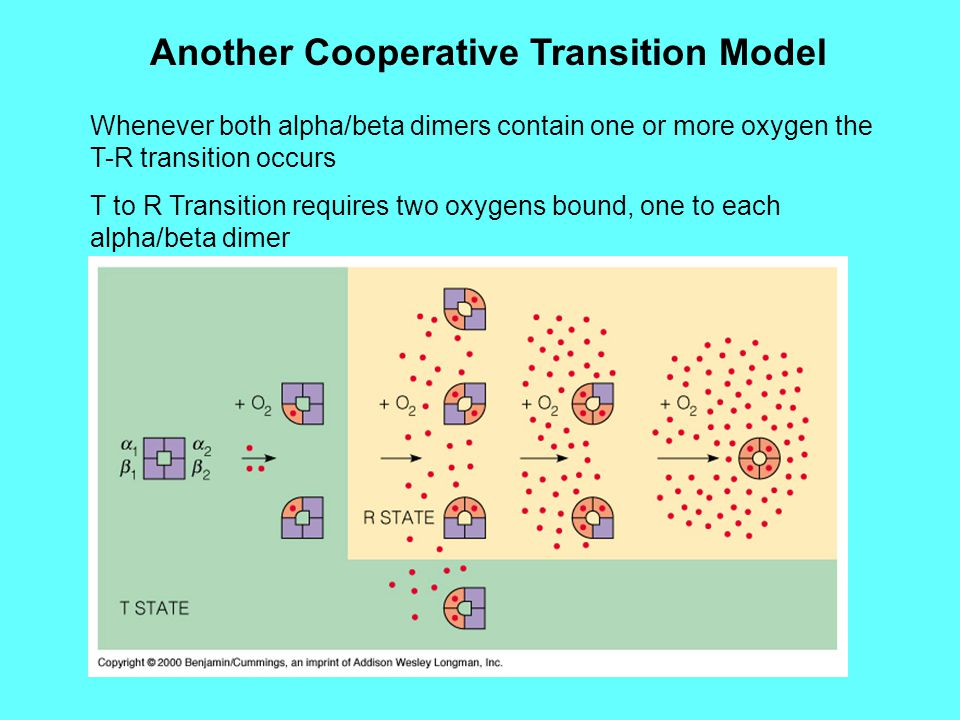 Another Cooperative Transition Model Whenever both alpha/beta dimers contain one or more oxygen the T-R transition occurs T to R Transition requires two oxygens bound, one to each alpha/beta dimer