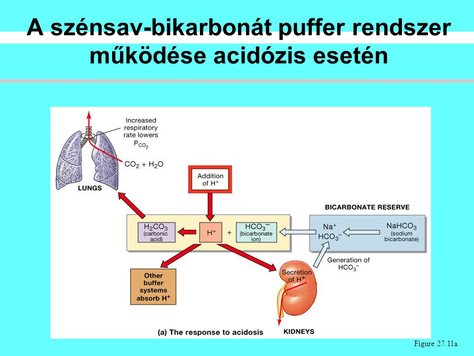 Figure 27.11a A szénsav-bikarbonát puffer rendszer működése acidózis esetén