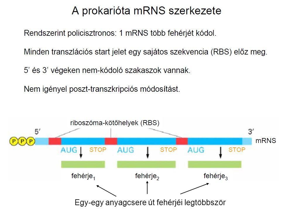 Egy-egy anyagcsere út fehérjéi legtöbbször