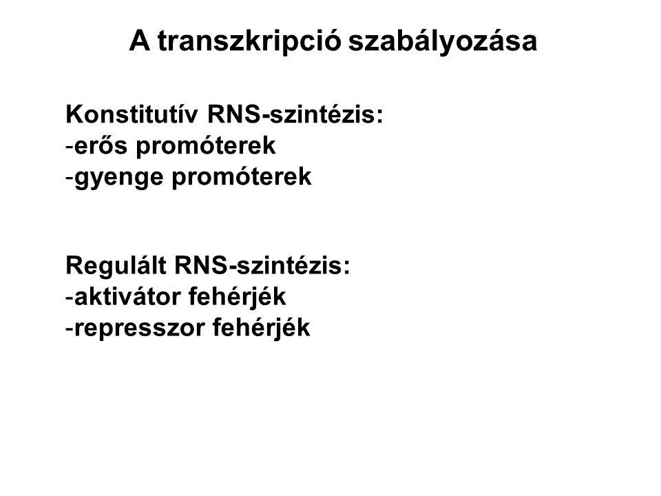 A transzkripció szabályozása Konstitutív RNS-szintézis: -erős promóterek -gyenge promóterek Regulált RNS-szintézis: -aktivátor fehérjék -represszor fehérjék
