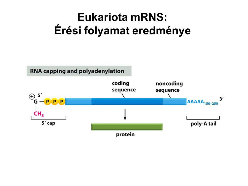 Eukariota mRNS: Érési folyamat eredménye