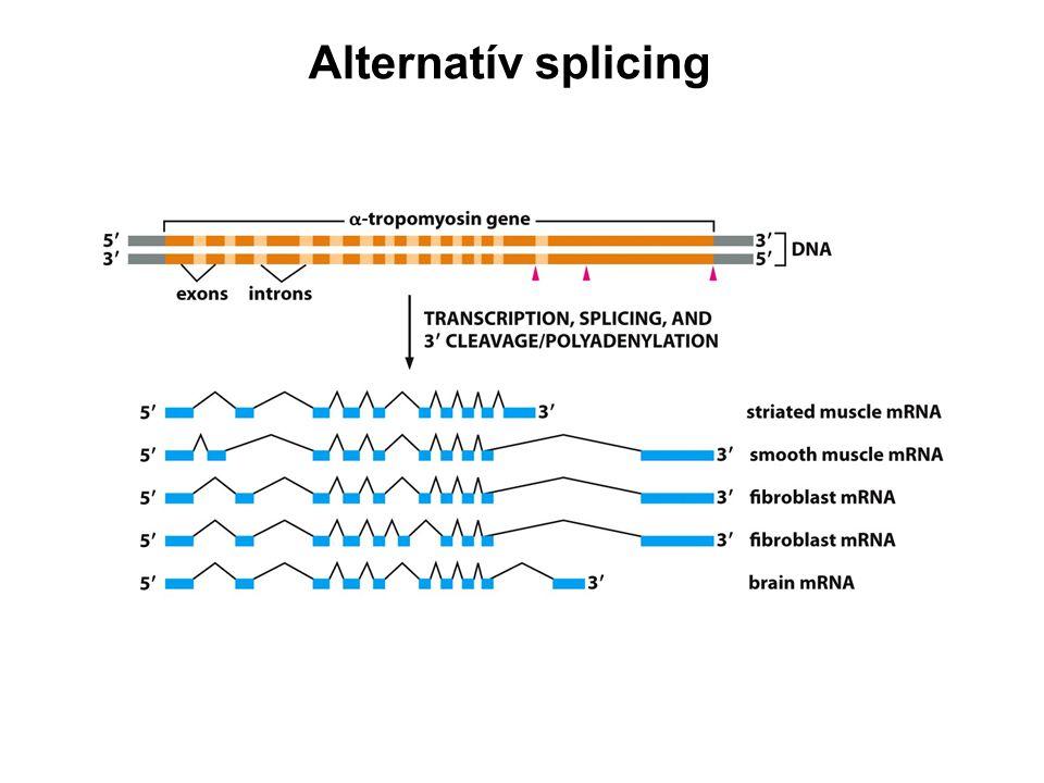 Alternatív splicing