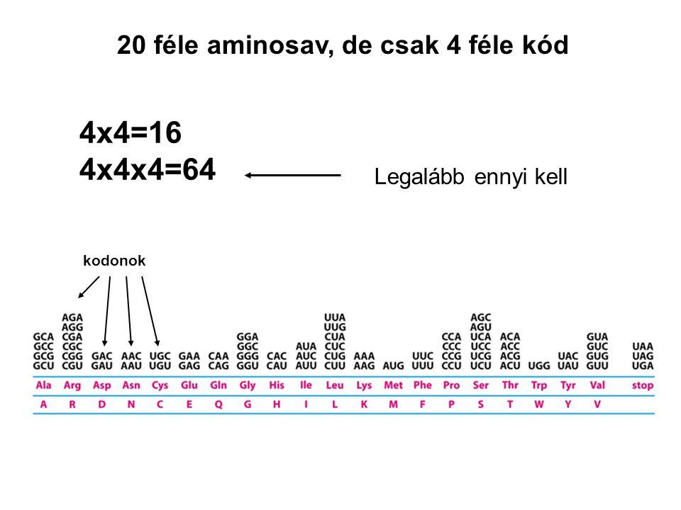 20 féle aminosav, de csak 4 féle kód 4x4=16 4x4x4=64 Legalább ennyi kell kodonok