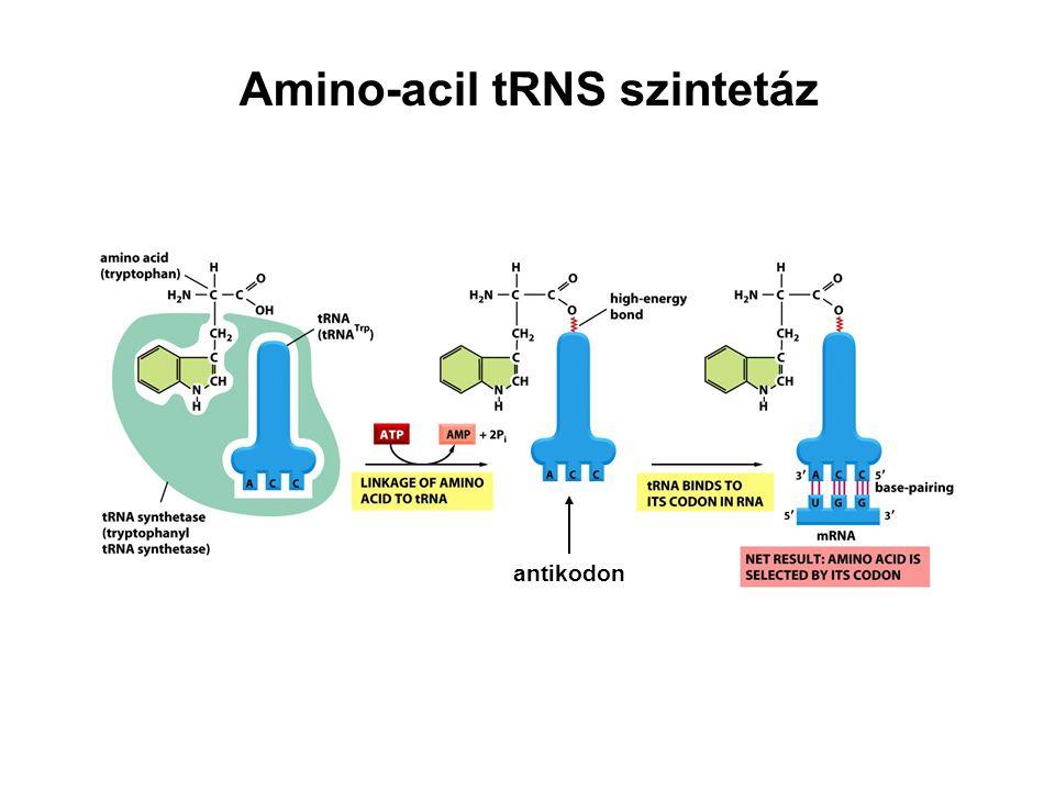 Amino-acil tRNS szintetáz antikodon