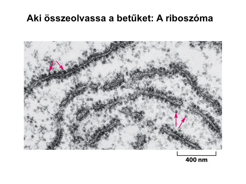Aki összeolvassa a betűket: A riboszóma