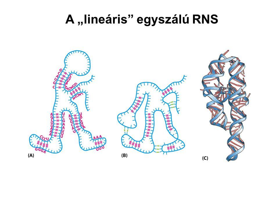 """A """"lineáris egyszálú RNS"""