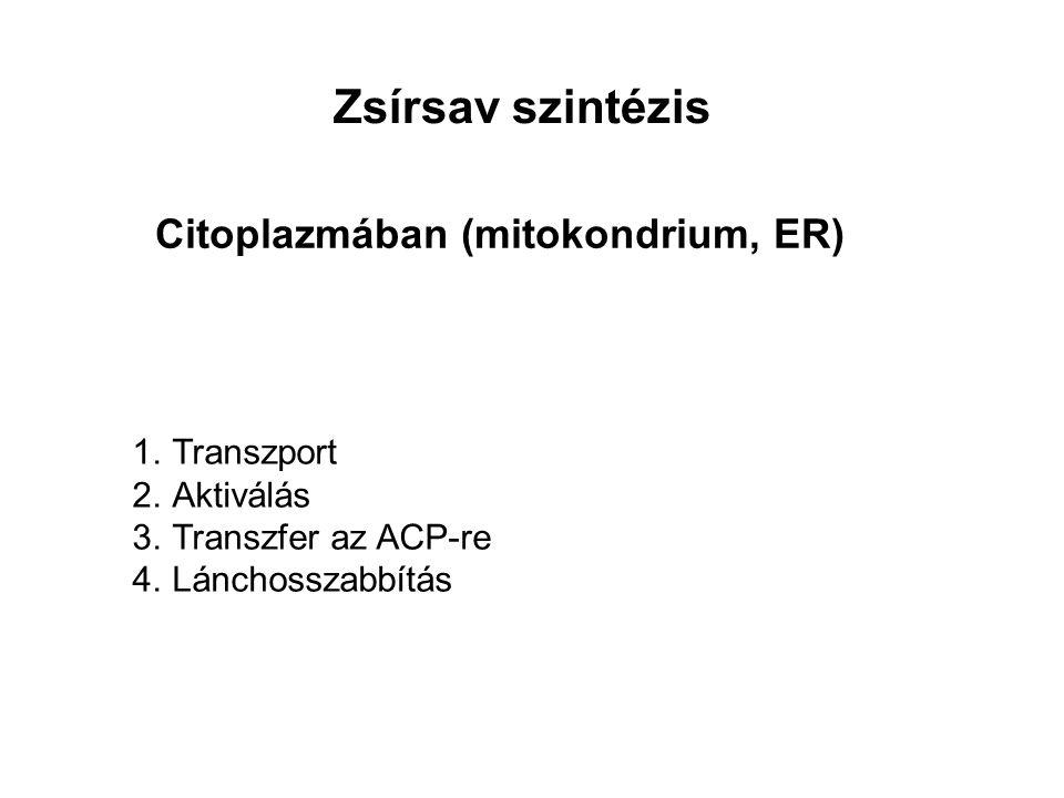 Zsírsav szintézis 1.Transzport 2.Aktiválás 3.Transzfer az ACP-re 4.Lánchosszabbítás Citoplazmában (mitokondrium, ER)