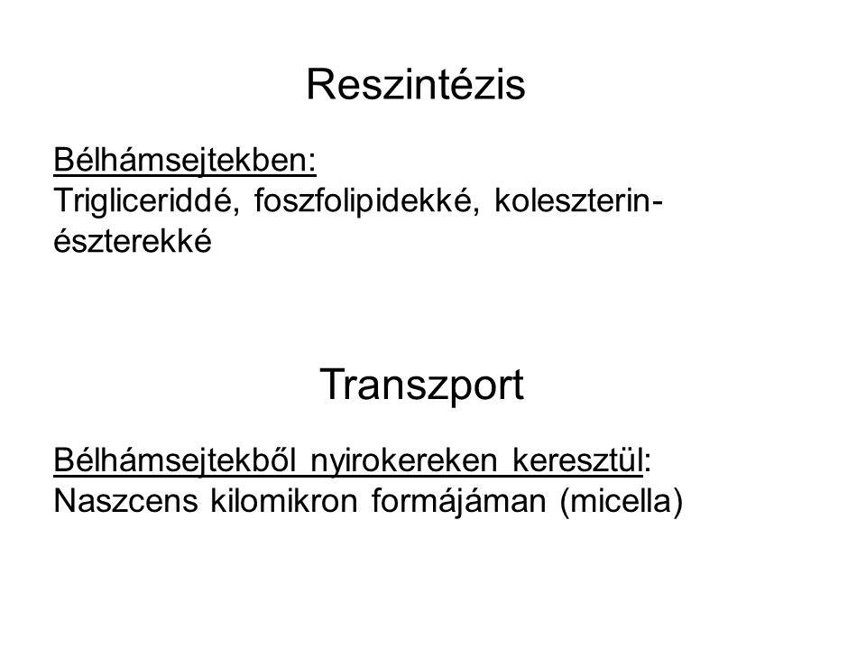 Reszintézis Bélhámsejtekben: Trigliceriddé, foszfolipidekké, koleszterin- észterekké Transzport Bélhámsejtekből nyirokereken keresztül: Naszcens kilom