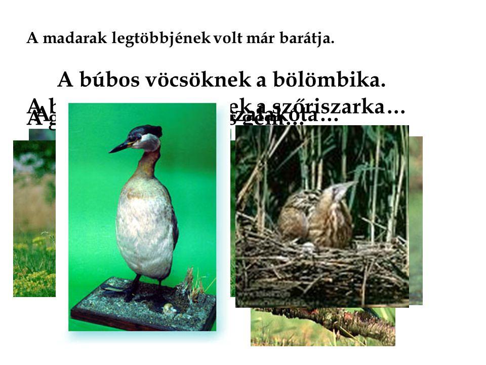 A madarak legtöbbjének volt már barátja. A barázdabillegetőnek a szőriszarka… A gyurgyalagnak a szalakóta… A gólyának a kanalas gém… A búbos vöcsöknek