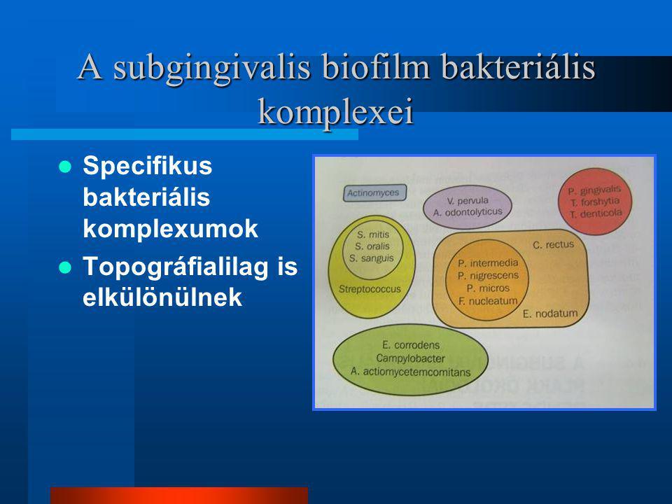 A subgingivalis biofilm bakteriális komplexei Specifikus bakteriális komplexumok Topográfialilag is elkülönülnek
