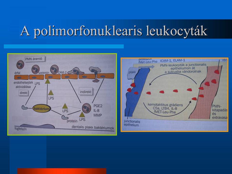 A polimorfonuklearis leukocyták