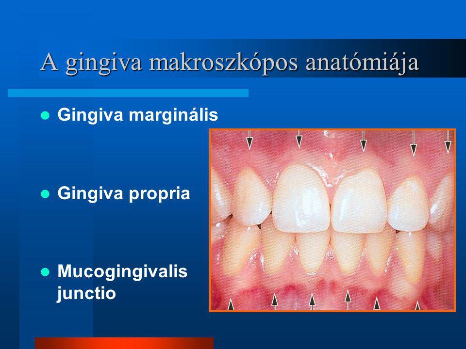 A gingiva makroszkópos anatómiája Gingiva marginális Gingiva propria Mucogingivalis junctio