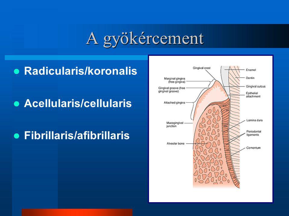 A gyökércement Radicularis/koronalis Acellularis/cellularis Fibrillaris/afibrillaris