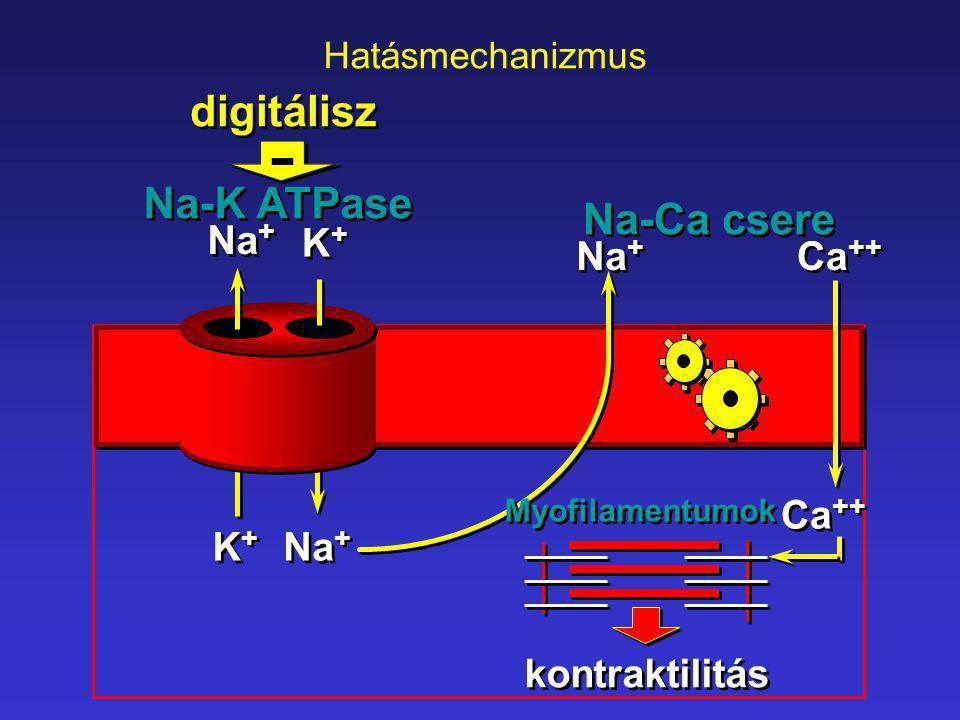 Na + K+K+ K+K+ K+K+ K+K+ Ca ++ Na-K ATPase Na-Ca csere Myofilamentumok digitálisz kontraktilitás - Hatásmechanizmus