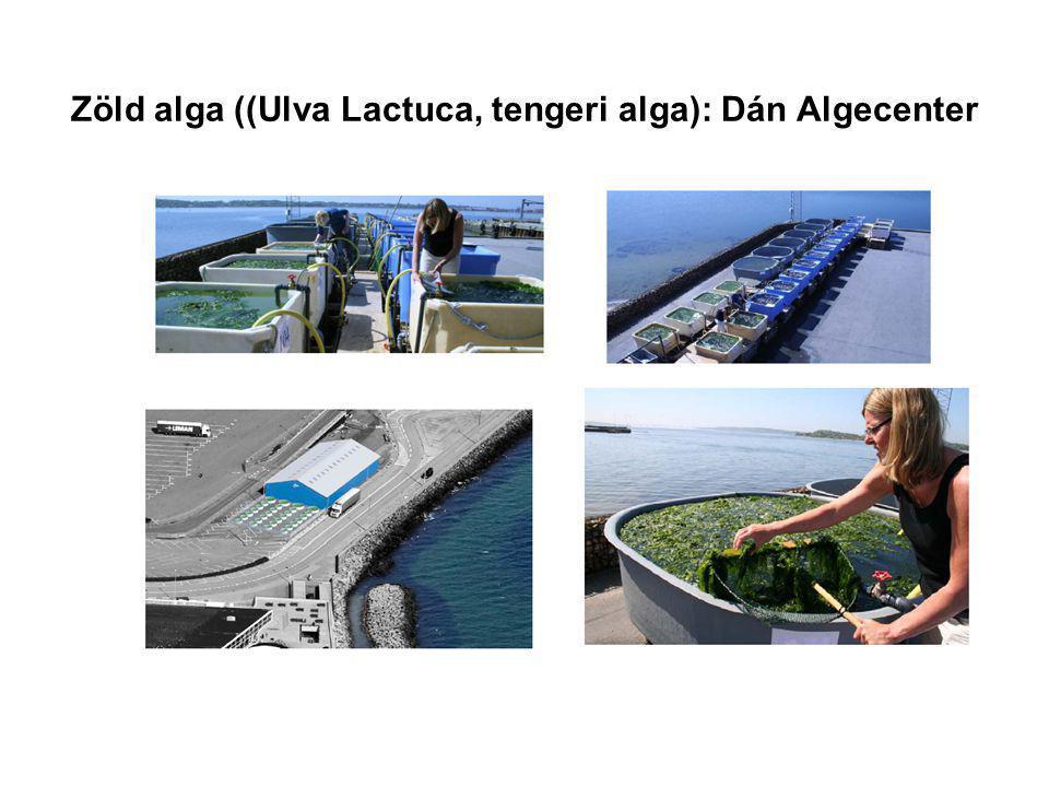 Zöld alga ((Ulva Lactuca, tengeri alga): Dán Algecenter