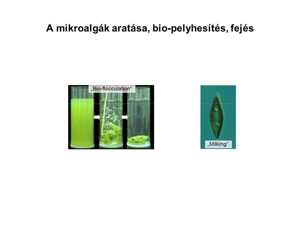A mikroalgák aratása, bio-pelyhesítés, fejés