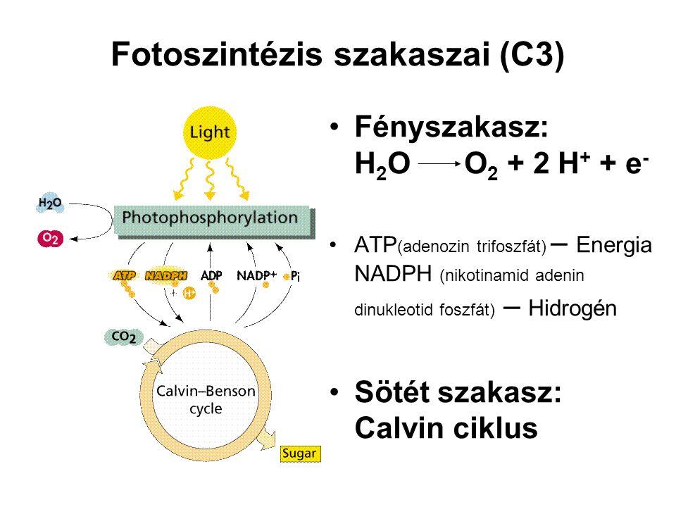 Fotoszintézis szakaszai (C3) Fényszakasz: H 2 OO 2 + 2 H + + e - ATP (adenozin trifoszfát) – Energia NADPH (nikotinamid adenin dinukleotid foszfát) – Hidrogén Sötét szakasz: Calvin ciklus