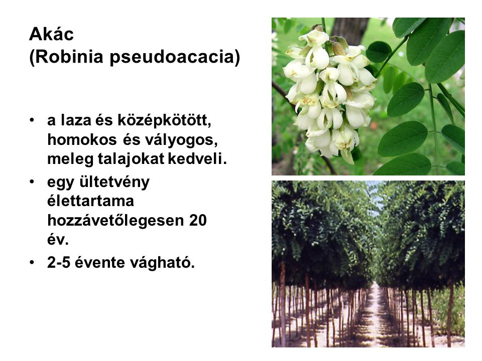 Akác (Robinia pseudoacacia) a laza és középkötött, homokos és vályogos, meleg talajokat kedveli. egy ültetvény élettartama hozzávetőlegesen 20 év. 2-5