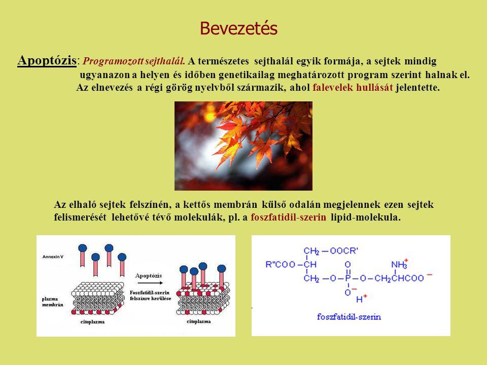 Apoptózis: Programozott sejthalál. A természetes sejthalál egyik formája, a sejtek mindig ugyanazon a helyen és időben genetikailag meghatározott prog