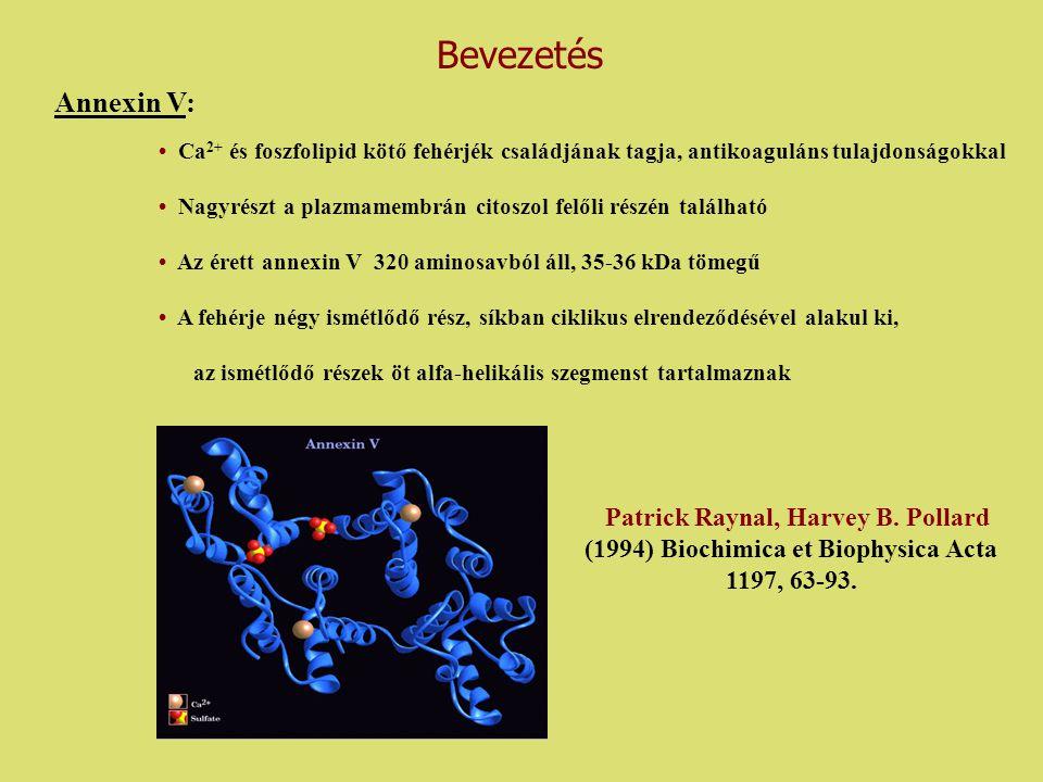 Annexin V: Ca 2+ és foszfolipid kötő fehérjék családjának tagja, antikoaguláns tulajdonságokkal Nagyrészt a plazmamembrán citoszol felőli részén talál