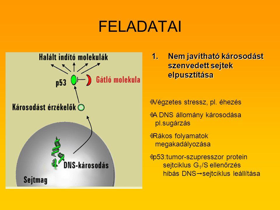 FELADATAI 1.Nem javítható károsodást szenvedett sejtek elpusztítása   Végzetes stressz, pl. éhezés   A DNS állomány károsodása pl.sugárzás   Rák