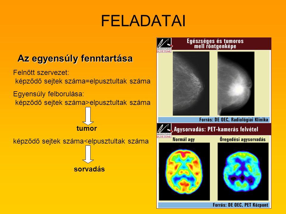 FELADATAI Az egyensúly fenntartása Felnőtt szervezet: képződő sejtek száma=elpusztultak száma Egyensúly felborulása: képződő sejtek száma>elpusztultak