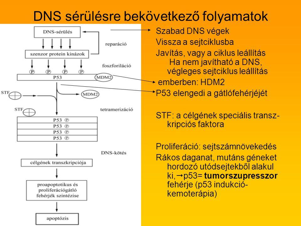 DNS sérülésre bekövetkező folyamatok Szabad DNS végek Vissza a sejtciklusba Javítás, vagy a ciklus leállítás Ha nem javítható a DNS, végleges sejtcikl