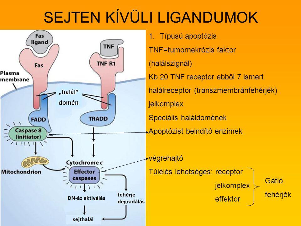 SEJTEN KÍVÜLI LIGANDUMOK 1. 1.Típusú apoptózis TNF=tumornekrózis faktor (halálszignál) Kb 20 TNF receptor ebből 7 ismert halálreceptor (transzmembránf