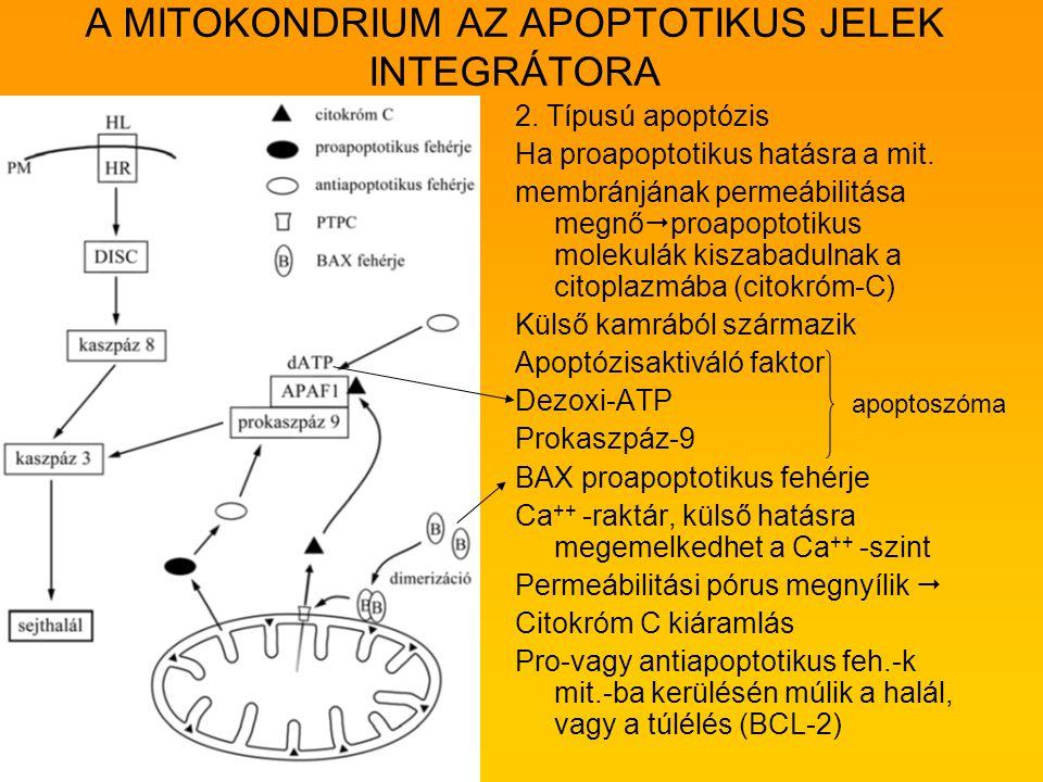 A MITOKONDRIUM AZ APOPTOTIKUS JELEK INTEGRÁTORA 2. Típusú apoptózis Ha proapoptotikus hatásra a mit. membránjának permeábilitása megnő  proapoptotiku