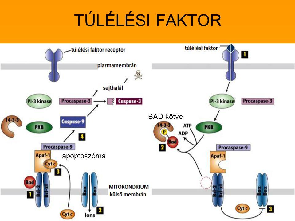 TÚLÉLÉSI FAKTOR BAD kötve apoptoszóma