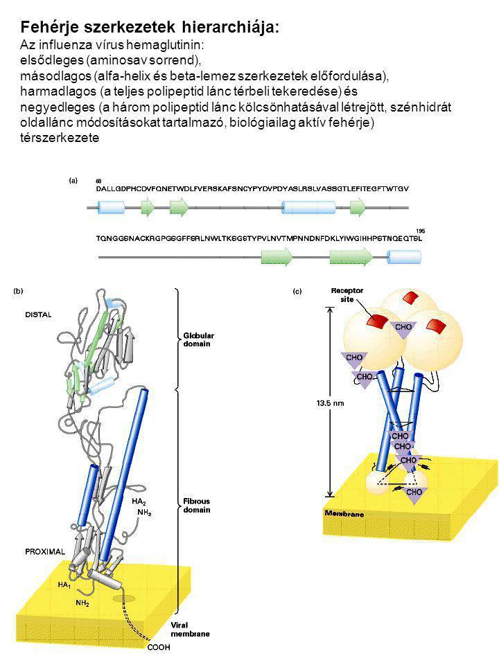 Fehérje szerkezetek hierarchiája: Az influenza vírus hemaglutinin: elsődleges (aminosav sorrend), másodlagos (alfa-helix és beta-lemez szerkezetek elő