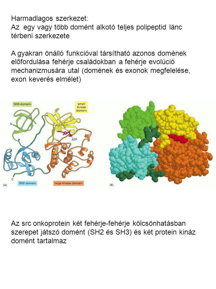Harmadlagos szerkezet: Az egy vagy több domént alkotó teljes polipeptid lánc térbeni szerkezete A gyakran önálló funkcióval társítható azonos domének