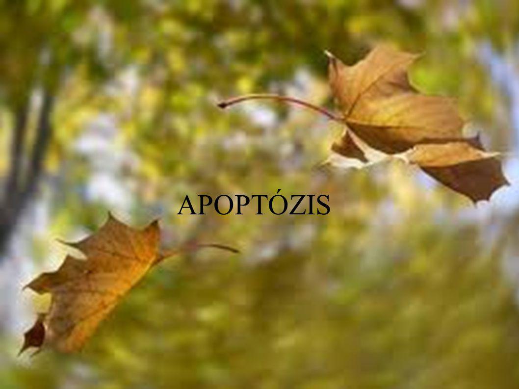 """Apoptózis = """"lehullás, levedlés - pl."""