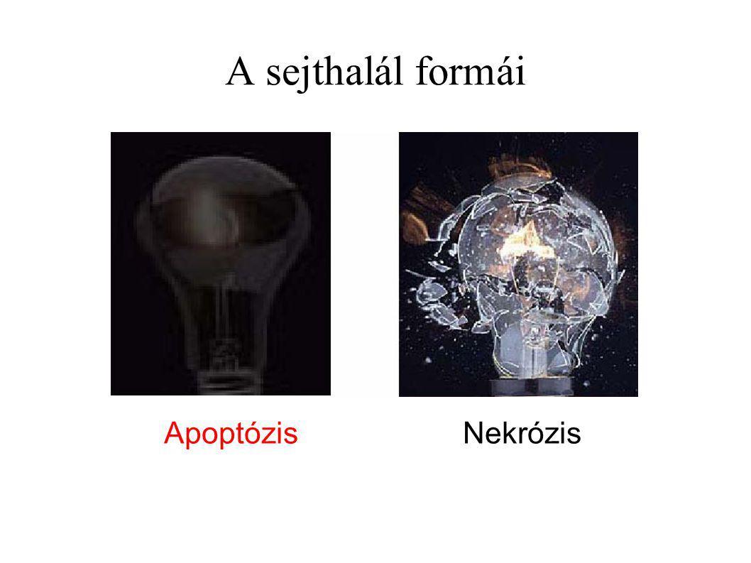 A sejthalál formái Apoptózis Nekrózis