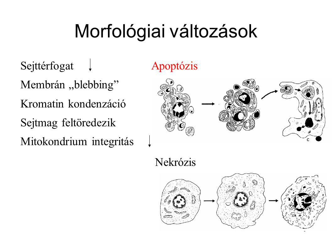 Apoptózis Mechanizmuspasszívaktív Stimulushypoxia, éhezés, membrán fizikai-kémiai károsodása Genetikai program, EC vagy IC hatások Szöveti lokalizációSok sejt, nekrotikus zónaEgyedi sejtek Esemény sorrendvéletlenszerűkonzervatív Sejttérfogatduzzadászsugorodás SejtmembránSzétesés, a citoplazma kiáramlása Az asszimmetria csökkenése felszínsimacsomók CitoplazmaAutolízisÚj fehérjék szintézise Sejttörmelék eltávolításaFagocitózis+gyulladásAz apoptotikus testek fagocitózisa, nincs gyulladás SejtmagkromatinKaryolízis (diffúz degradáció)Heteropiknózis (kondenzálódás, marginizáció, karyohexis, internucleosomális bomlás