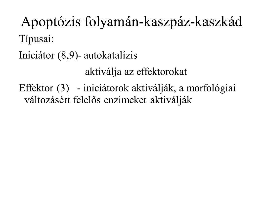 Apoptózis folyamán-kaszpáz-kaszkád Típusai: Iniciátor (8,9)- autokatalízis aktiválja az effektorokat Effektor (3) - iniciátorok aktiválják, a morfológiai változásért felelős enzimeket aktiválják