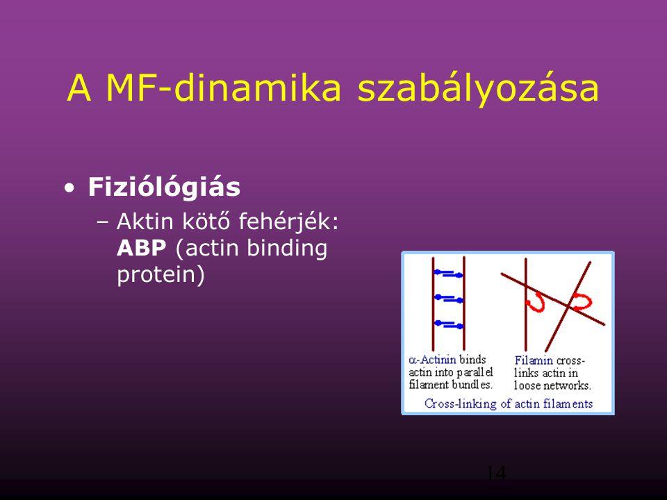 14 A MF-dinamika szabályozása Fiziólógiás –Aktin kötő fehérjék: ABP (actin binding protein)