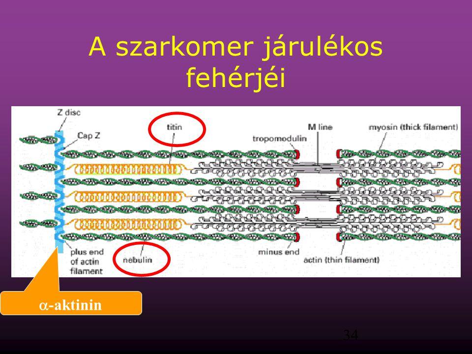 34 A szarkomer járulékos fehérjéi  -aktinin