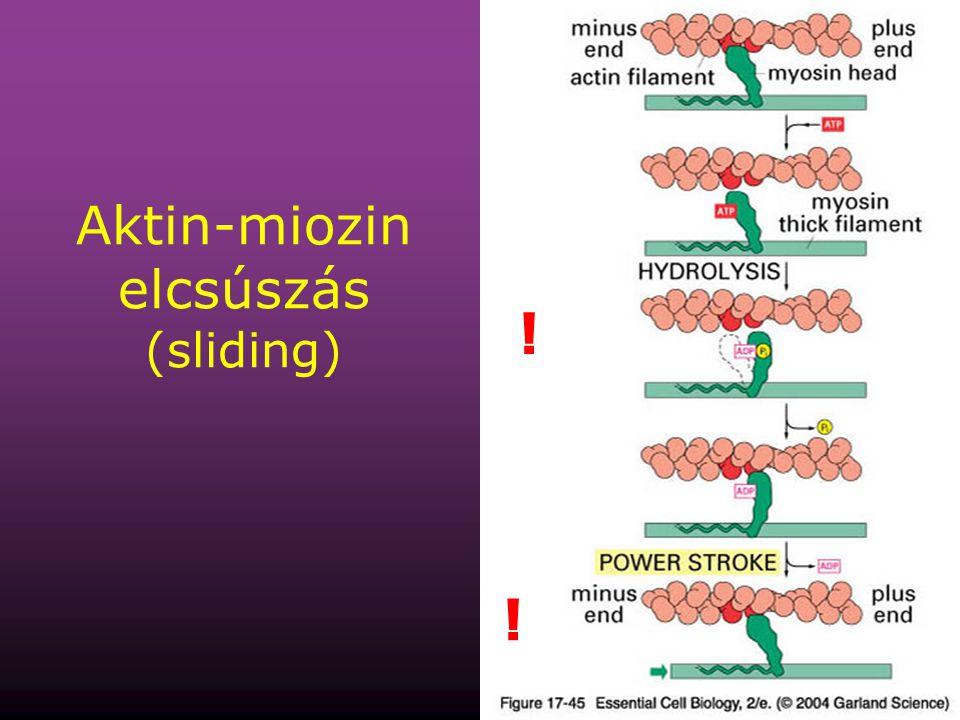 38 Aktin-miozin elcsúszás (sliding) ! !