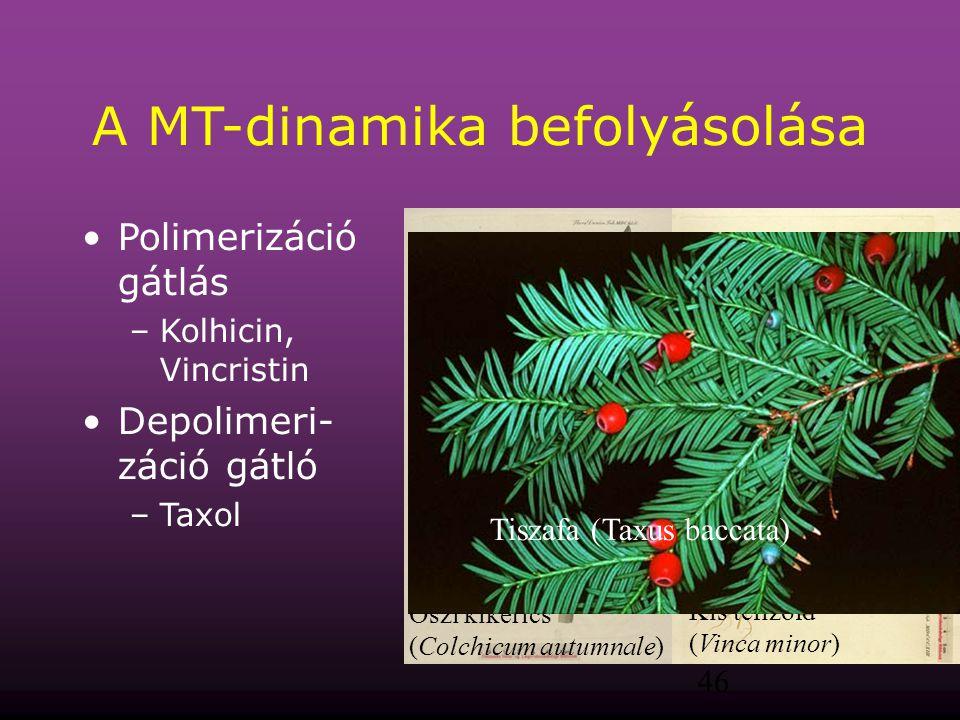 46 A MT-dinamika befolyásolása Polimerizáció gátlás –Kolhicin, Vincristin Depolimeri- záció gátló –Taxol Őszi kikerics (Colchicum autumnale) Kis téliz