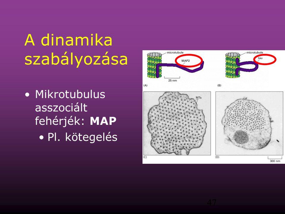 47 A dinamika szabályozása Mikrotubulus asszociált fehérjék: MAP Pl. kötegelés