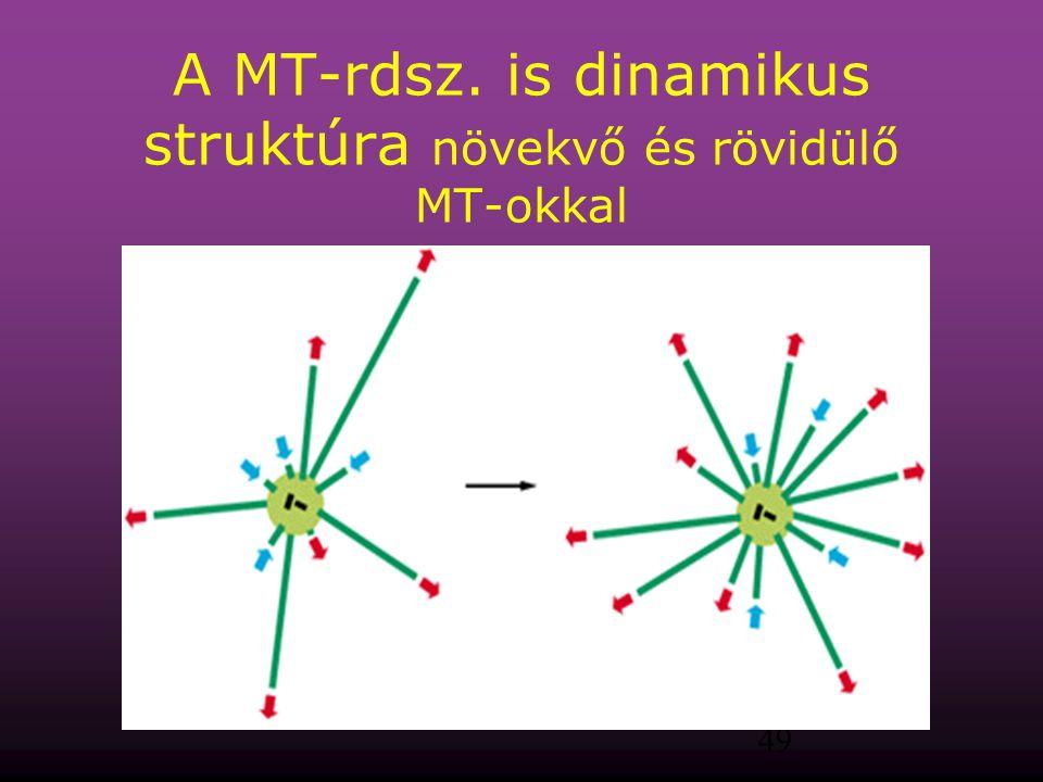 49 A MT-rdsz. is dinamikus struktúra növekvő és rövidülő MT-okkal