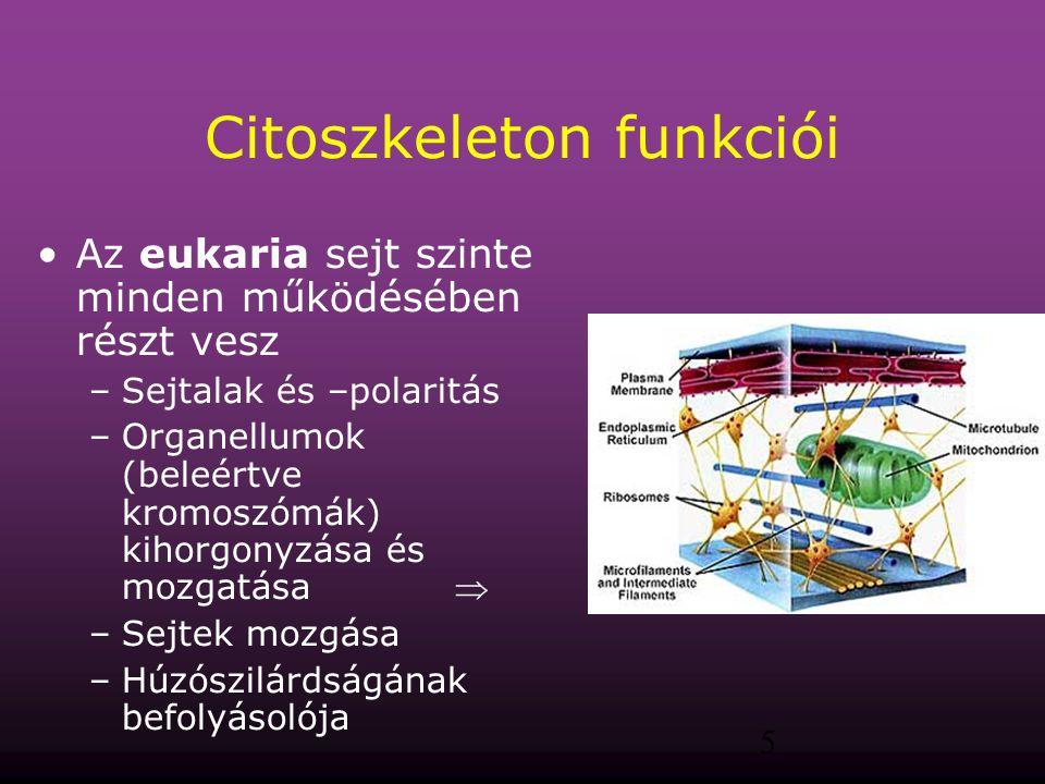 5 Citoszkeleton funkciói Az eukaria sejt szinte minden működésében részt vesz –Sejtalak és –polaritás –Organellumok (beleértve kromoszómák) kihorgonyz
