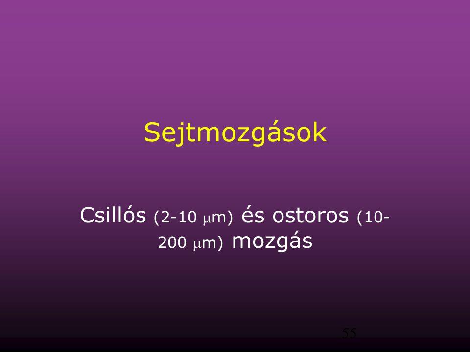 55 Sejtmozgások Csillós (2-10 m) és ostoros (10- 200 m) mozgás