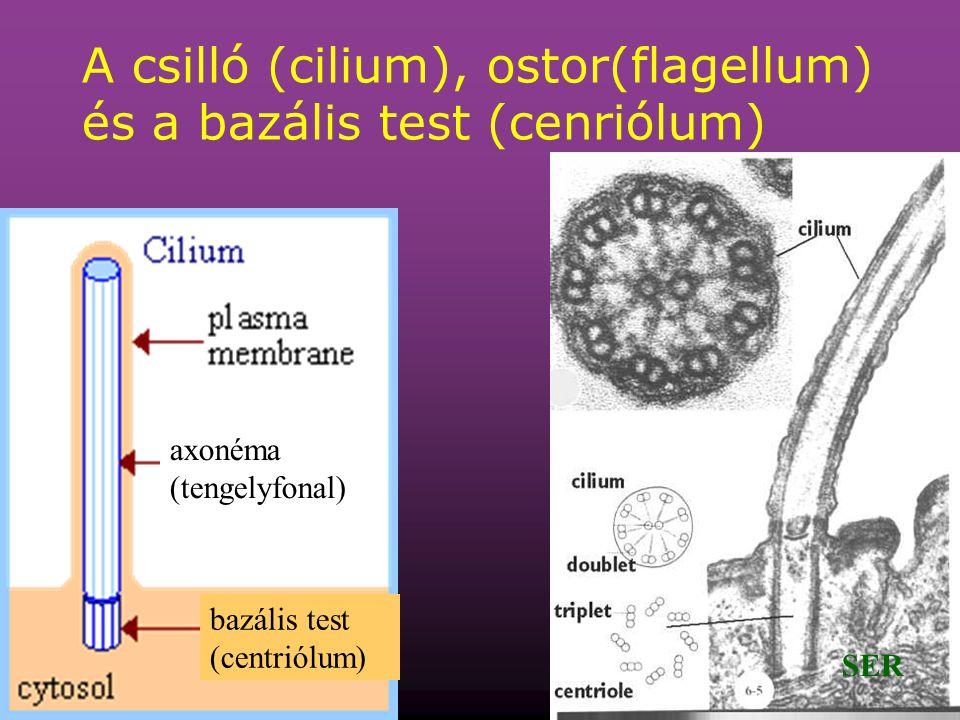 56 A csilló (cilium), ostor(flagellum) és a bazális test (cenriólum) bazális test (centriólum) axonéma (tengelyfonal) SER