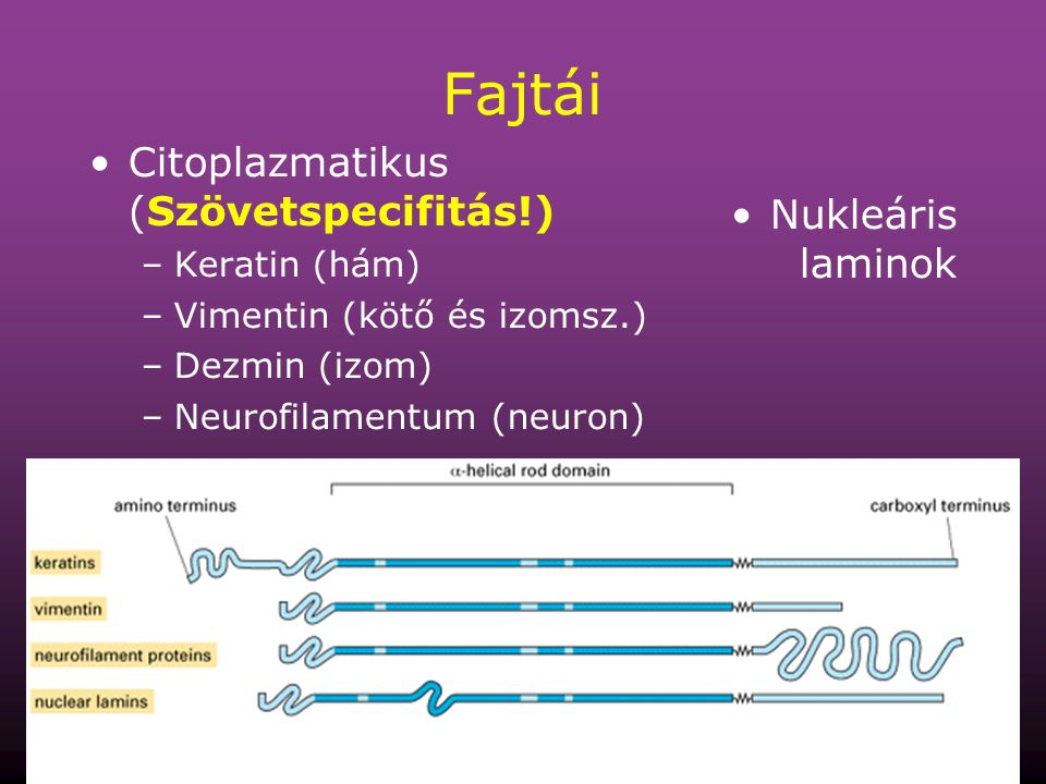 64 Fajtái Citoplazmatikus (Szövetspecifitás!) –Keratin (hám) –Vimentin (kötő és izomsz.) –Dezmin (izom) –Neurofilamentum (neuron) Nukleáris laminok