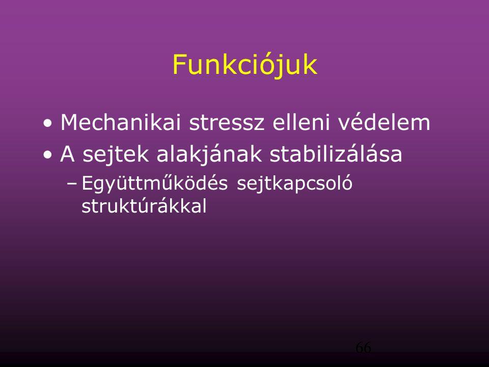66 Funkciójuk Mechanikai stressz elleni védelem A sejtek alakjának stabilizálása –Együttműködés sejtkapcsoló struktúrákkal