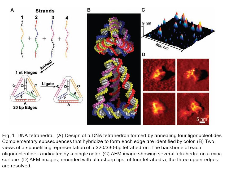 Fig. 1. DNA tetrahedra. (A) Design of a DNA tetrahedron formed by annealing four ligonucleotides. Complementary subsequences that hybridize to form ea